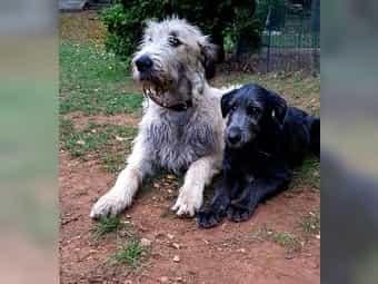Irischer wolfshund züchter baden württemberg