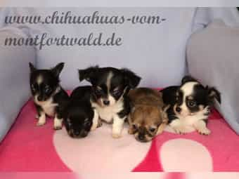 Chihuahuawelpen Kaufen Chihuahuawelpen Anzeigen Bei Dhd24 Com