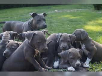 American Staffordshire Terrier Hunde Und Welpen Kaufen Dhd24 Com