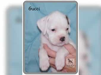 Boxer Hund Kaufen Boxer Hund Gebraucht Dhd24com
