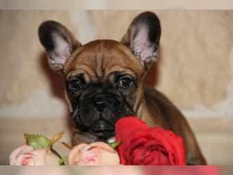 Französische bulldogge merle