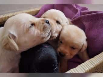 Labrador Gelb Kaufen Labrador Gelb Gebraucht Dhd24 Com