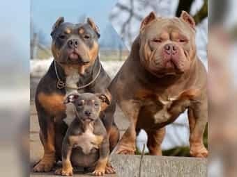 American Bulldog Und American Bulldog Welpen Kaufen Dhd24 Com