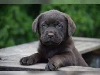 Labrador Mix Kaufen Labrador Mix Welpen Bei Dhd24 Com