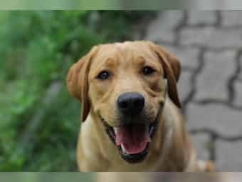 Labrador Hund Kaufen Labrador Hund Gebraucht Dhd24 Com
