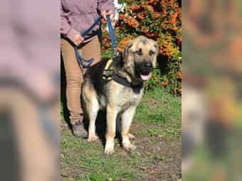 Leonberger Hunde Kaufen Leonberger Hunde Und Welpen Dhd24 Com