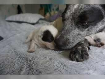 Australian Cattle Dog Welpen Kaufen Australian Cattle Dog Welpen