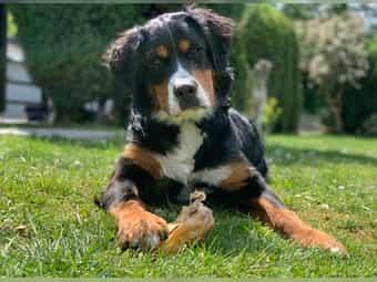 Berner Sennenhund Welpen Kaufen Berner Sennenhund Welpen