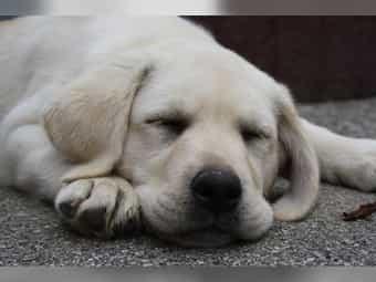Golden Retriever Welpen Zu Verkaufen Hunde Haustier Anzeiger