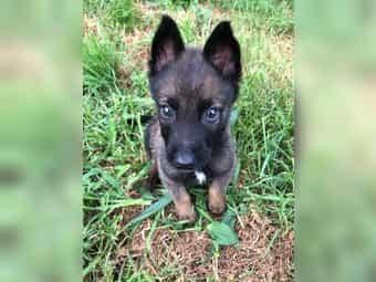 Belgischer Schaferhund Kaufen Belgischer Schaferhund Welpen Dhd24 Com