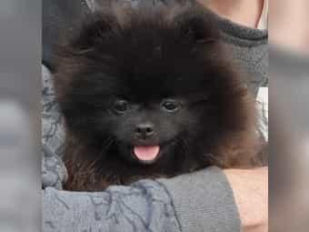 Pomeranian Kaufen Pomeranian Welpen Bei Dhd24 Com
