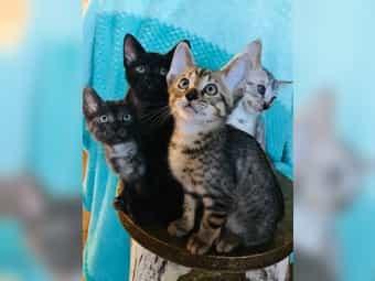 Savannah Katzen Katzenbabys Kitten Kaufen Dhd24 Com