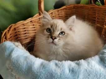 Sibirische Waldkatze Kaufen Sibirische Waldkatze Kitten Dhd24 Com