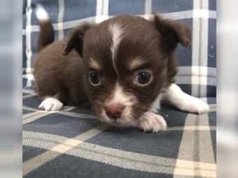 Chihuahua Kaufen Chihuahua Welpen Bei Dhd24 Com