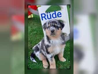 Welpen Mischlinge Hunde Und Welpen Kaufen Dhd24 Com