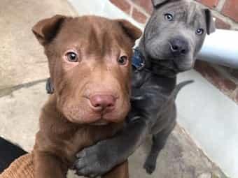 Kleinanzeigen Franzosische Bulldogge Franzosische Bulldogge Welpen Kaufen Verkaufen Haustier Anzeiger