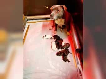 Kampfhunde Welpen Und Hunde Kaufen Dhd24 Com